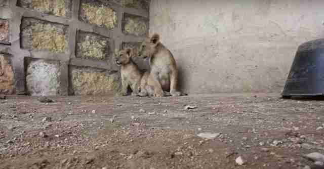 Lion cubs in concrete pen