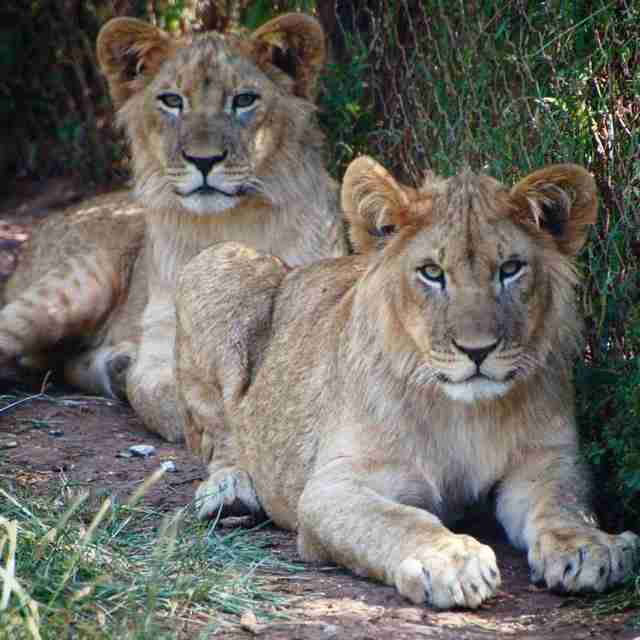 Adult lions inside enclosure