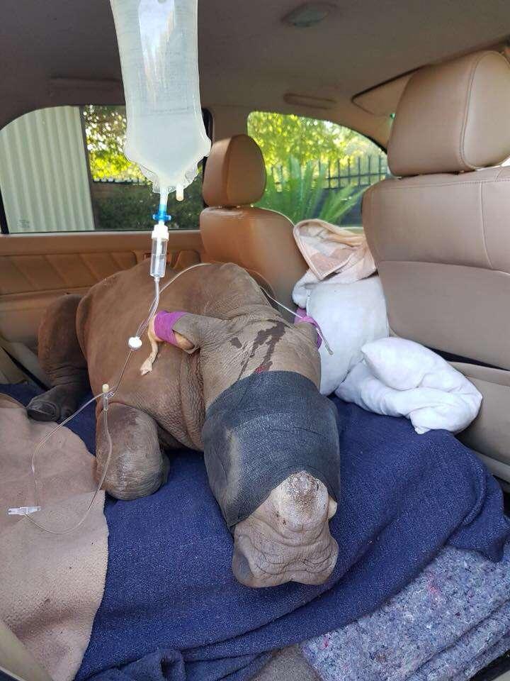 rhino rescue baby horns south africa poacher