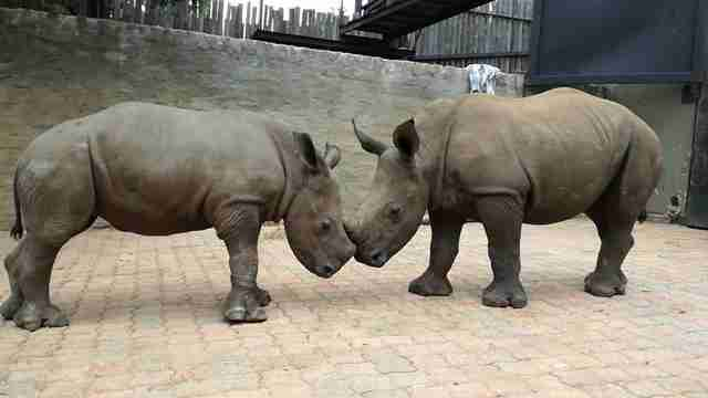 rhino poachers babies south africa