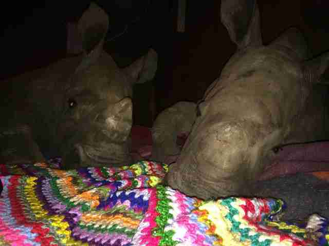 rescue rhinos south africa poachers
