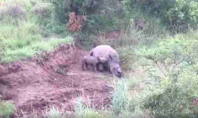 rhino baby poachers horns south africa