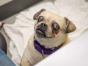 senior pug is blind and deaf