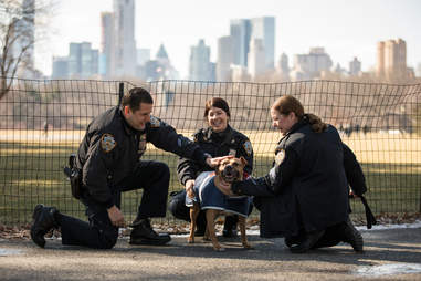 NYPD officers pet adoptable pit bull Orson