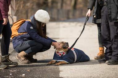 NYPD walking adoptable pit bull Orson
