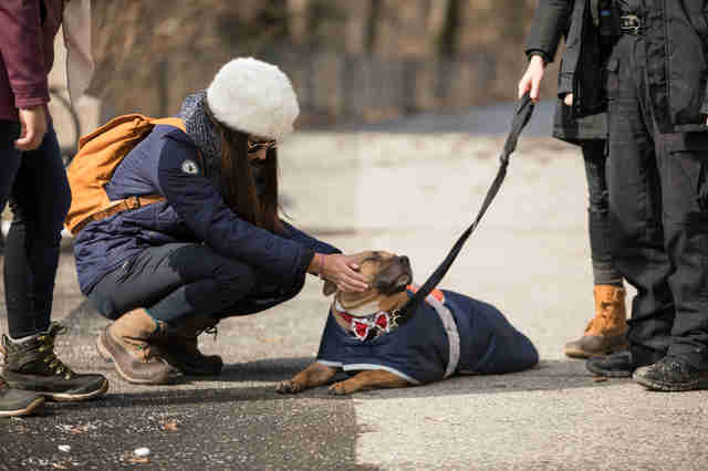 NYPD walking adoptable pit bull Orson