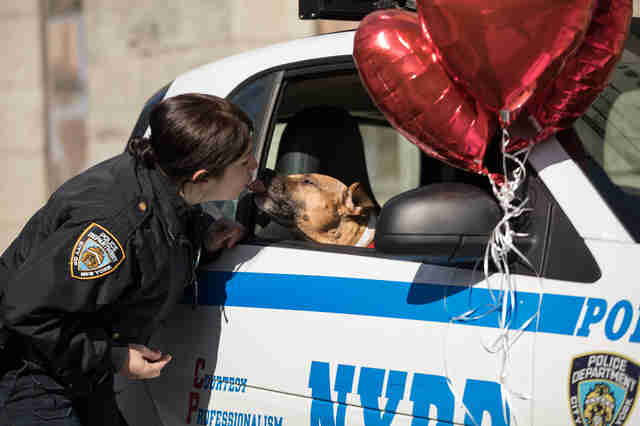 Pit bull Orson kissing NYPD officer