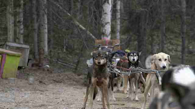 iditarod mushing dog abuse