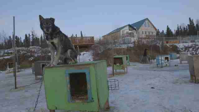 iditarod dog abuse mushing alaska