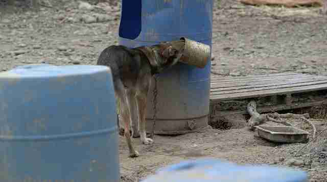 iditarod sled dog abuse