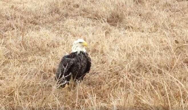 ice trapped bald eagle oklahoma rescue