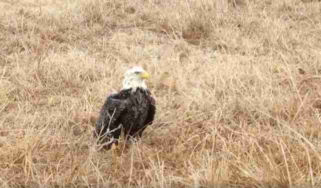 ice trapped bald eagle oklahoma rescue