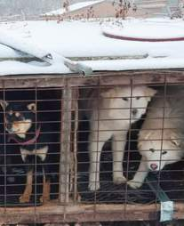 Dogs chained up in South Korean dog meat farm