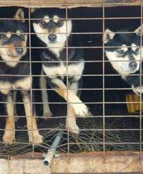 Dogs locked up in cage at dog meat farm