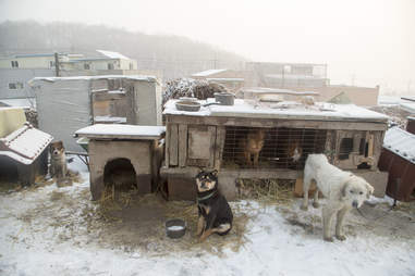 Dogs at dog meat farm