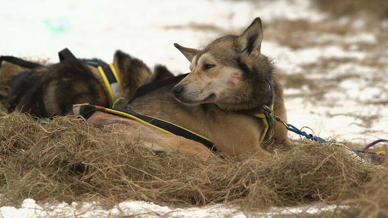 dog abuse iditarod musher dallas seavey