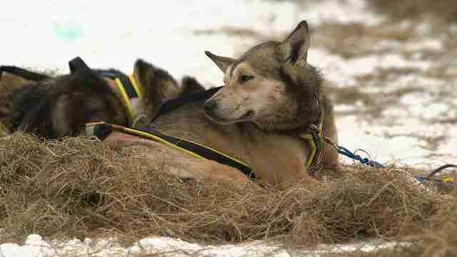 dog abuse iditarod musher dallas seavey