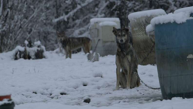 sled dog abuse alaska