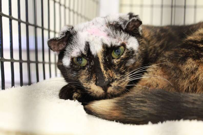 Cat with white hair after mange