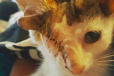 Frankie the four-eared cat after surgery