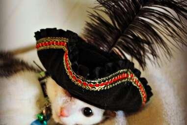 Frankenkitten wears a pirate hat