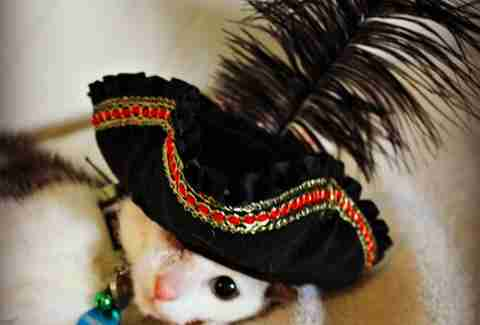 Frankenkitten wears a pirate hat