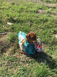 Dog tied up in feed sack in grass