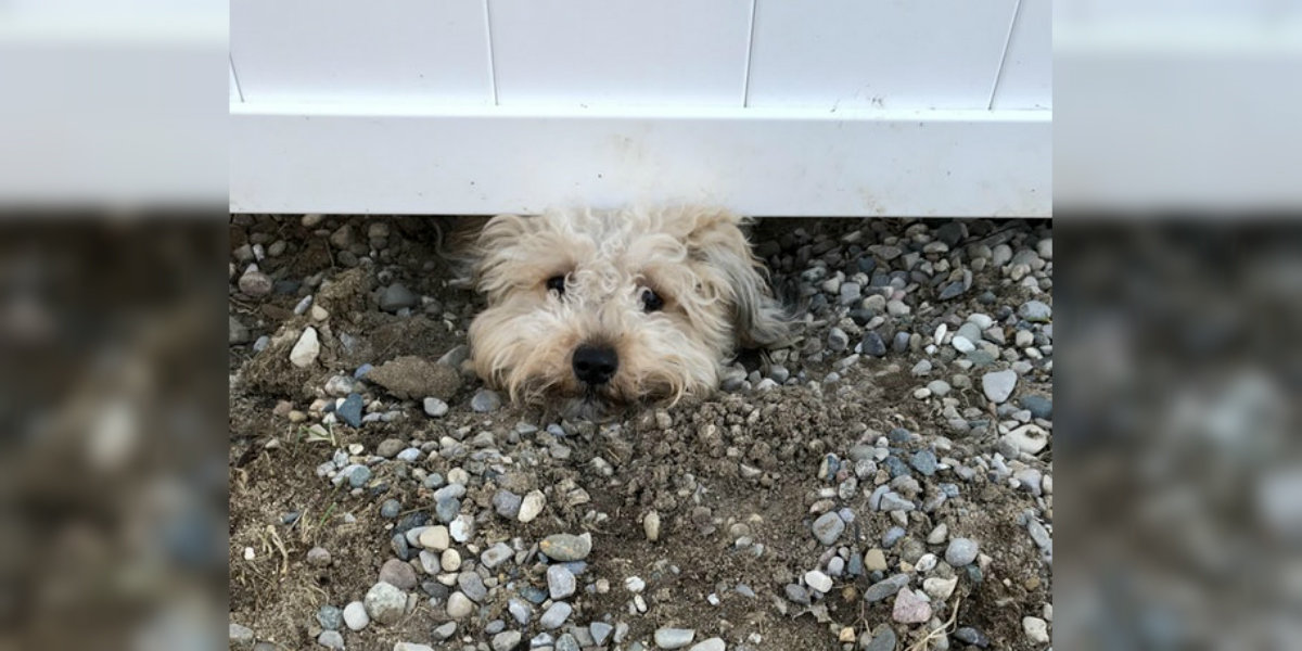 Dog Digs Under Fence When Not Home
