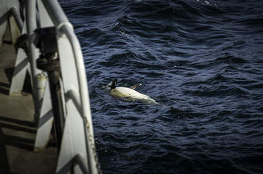 Dead dolphin floating in water