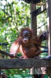 rescue orangutan box