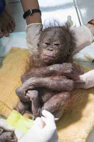 orangutan baby box rescue