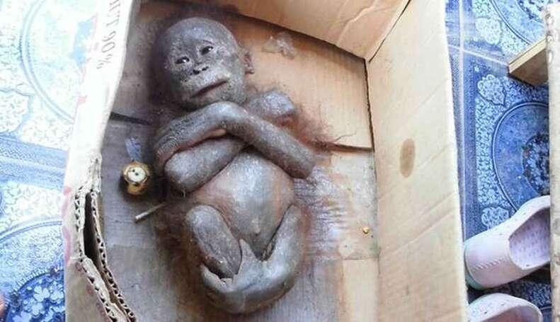 orangutan rescue box