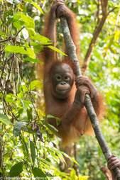 rescue orangutan box borneo
