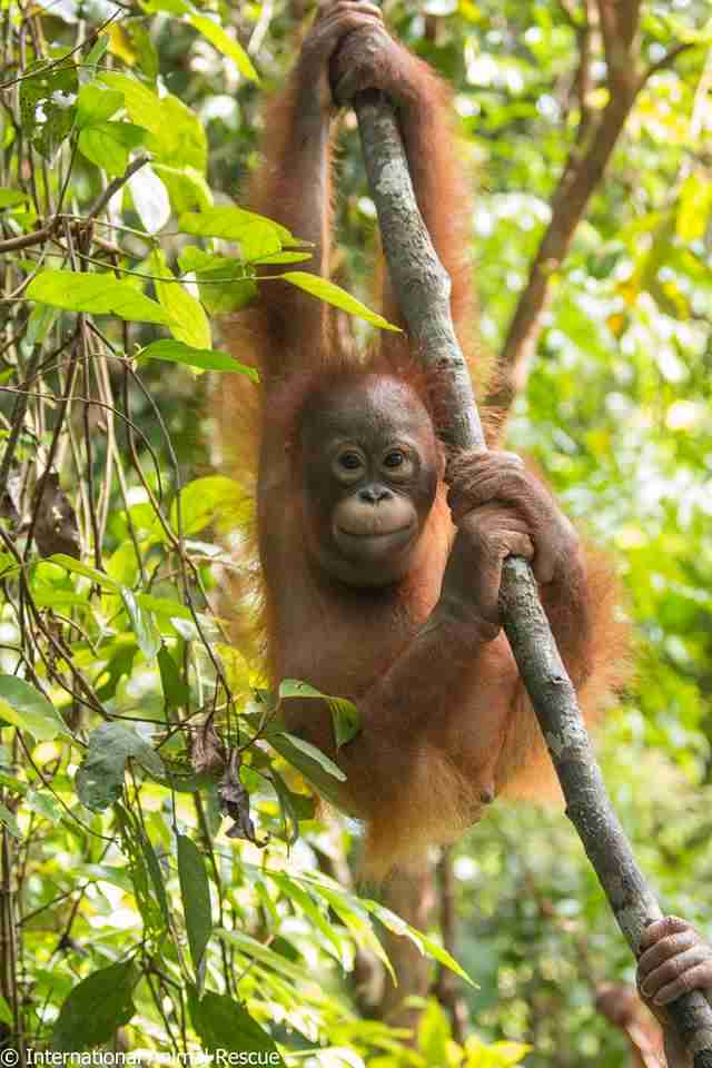 rescue orangutan box borneo