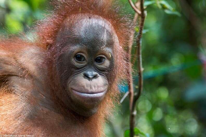 rescue orangutan box borneo gito