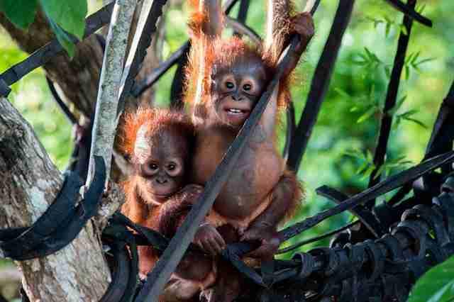 Rettung Orang-Utan Borneo Gito