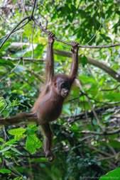 rescue orangutan borneo gito
