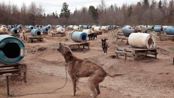 chain dog iditarod musher