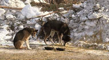 sled dog abuse iditarod