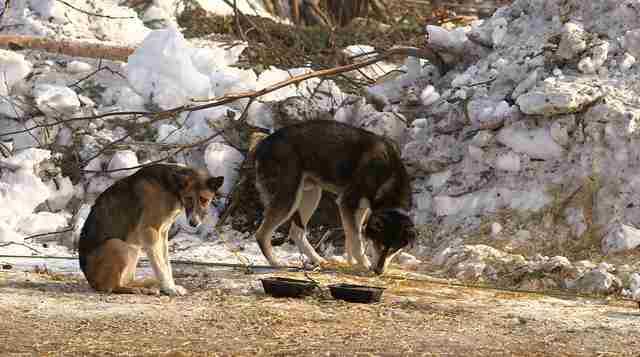 sled dog abuse iditarod