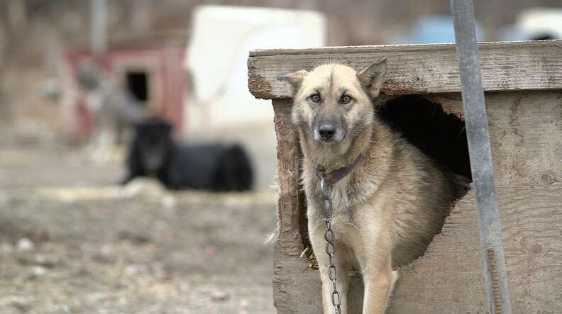 dog abuse iditarod alaska mushing