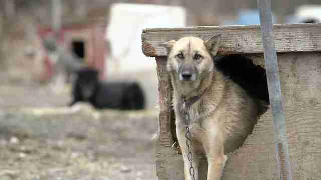 dog abuse iditarod alaska mushing