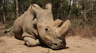 Sudan, the last male northern white rhino on earth
