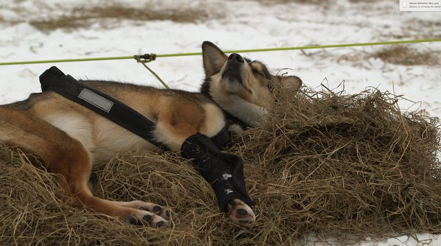 Iditarod Scandal: Mushers Abuse And Kill Sled Dogs, Insiders Say