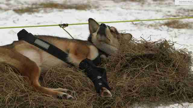 iditarod sled dog alaska abuse