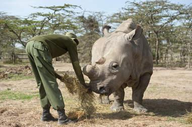 Last male northern white rhino Sudan with ranger at Ol Pejeta conservancy in Kenya