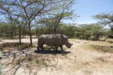 Last male northern white rhino on earth