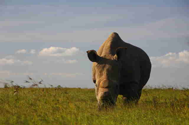 Last male northern white rhino on earth