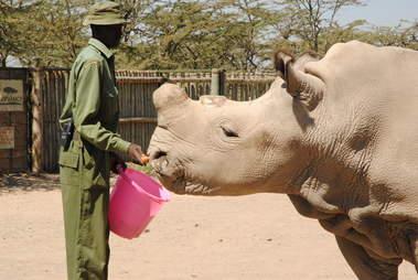 Last male northern white rhino at Kenya conservancy