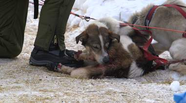 dog sled abuse race iditarod